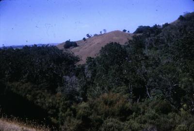 Kauri Grove on Trilby Hill at Bream Tail Farm.; 18-187