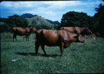 Shorthorn Cattle; 18-174