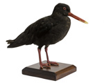 Bird - Variable Oyster Catcher; 829