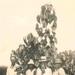 Tung Nut Oil Tree; 17-17B