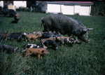 Sow and Piglets on Bream Tail Farm; 18-180