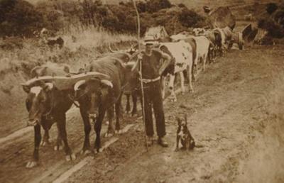 H.B Browne with bullocks; 19-147