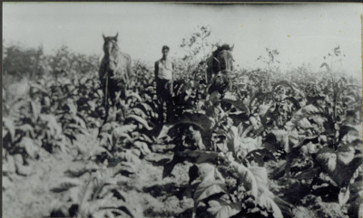 Tobacco Field at Te Arai.; 16-192