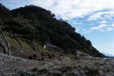 Feeding Cattle on Bream Tail Farm; 18-99