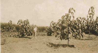 Tung Nut Oil Tree; 17-17A