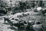 Bullock Team; 15-22