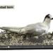 Bird: White Fronted Tern  ; 17-92