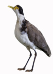 Bird - Spur Winged Plover; 667