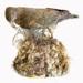 Bird - Kea; 662