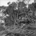 Scrub crushing on Hallam farm, 1957; Ron Vine; 1957; 10/012/003