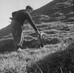 Gorse; chain ploughing, June 1958; Ron Vine; 1958; 10/012/002
