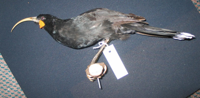 Mounted specimen of a female huia - Heteralocha ac...