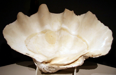 This mollusc shell is a Tridacna gigas (Giant clam...