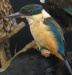 New Zealand kingfisher - Halycon sancta or Kotare. ; 97/55/3