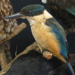 New Zealand kingfisher - Halycon sancta or Kotare.