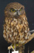 Taxidermied morepork - Ninox novaeseelandiae - or Ruru.