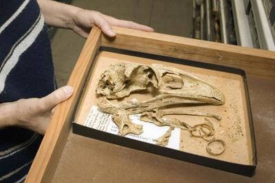 Dinornis novaezealandiae Owen, 1843.  Giant moa, skeleton, AU6393