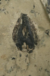Araucarites cutchensis, a single cone scale, AU865.1