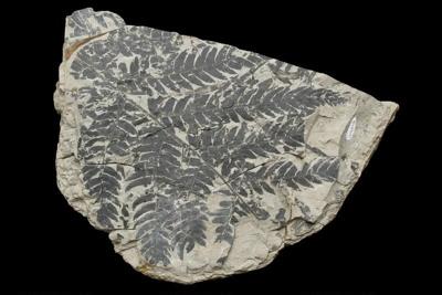 Cladophlebis australis (Morris, 1845).  A tree fern frond, AU8653