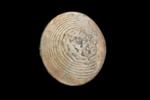 Sarmaturbo superbus (Zittel, 1864).  A fossil sea snail operculum., AU8850