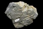 Titahia corrugata Webby.  Fossil tube worms, AU1316