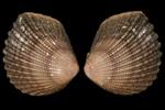 Neotrigonia bednalli Verco, 1907, AU15337