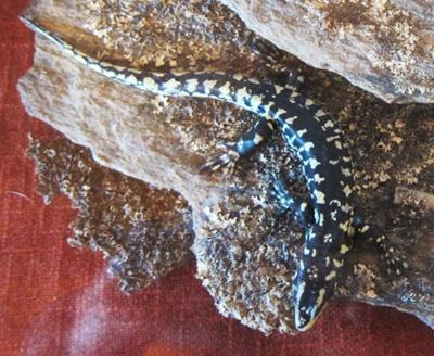 Otago skink; Oligosoma otagense; Cottesbrook, Middlemarch; 2011.3