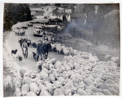 Droving part of mob of 45,000, Bonnington, M, Circa 1950, OP-3639
