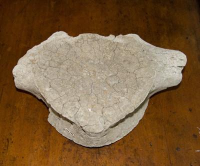 Whale bone vertebra; XFH.67