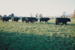Photograph, Bulls at Helmsdale 1991; Unknown; 1991; WY.0000.1153