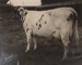 Photograph, Champion Cow 1916; Clayton; 1916; WY.0000.845