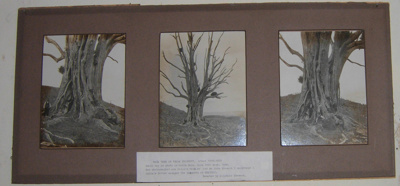 Framed Photo Board - Rata Tree 1920; 1920; 2005-2894-1