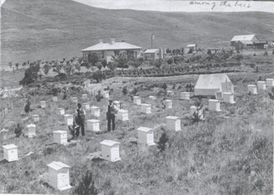 Beehives at Hamilton residence, Ikawai  ; Unknown; 1910; P5233