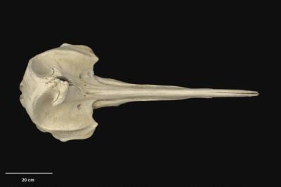 strap-toothed whale, Mesoplodon Layardii (Gray, 1865), Te Kaha near Mouriuri stream, MM002655