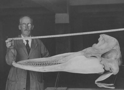Tasmacetus shepherdii, Shepherd's beaked whale skeleton holotype, 1933.86