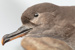 Sooty Shearwater (Tītī), Taxidermy ; Puffinus griseus
