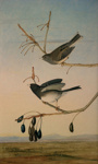 Slate Coloured Junco ; Joseph Bartholomew Kidd after John James Audubon; 1831-1833; 4-2007