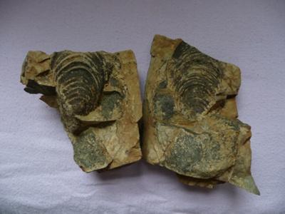Fossilised Mussel ; 1029