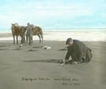 Digging for toheroa, 2004.2.2007.893