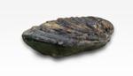 Fossil. Inoceramus.  Jurassic., 11599