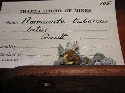 Ammonite tuberculatus ; XTS.1967