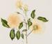 Painting, 'Old Bourbon Rose'; Turnbull, Marie; 1977-1978; ESC.85.007