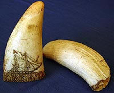 """Sperm whales tooth. """"Scrimshaw"""", CFB94"""