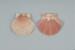 Mollusc shell: New Zealand scallop, Kuakua, Tipa, Pecten novaezelandiae; Frances Shakespear; 2015.232.128