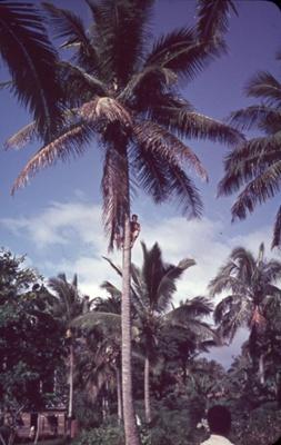 Slide: Young man up coconut palm; Sybil Dunn; Keith Dunn; 2013.264.209