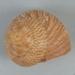 Mollusc shell: Tiger shell, maurea, rehoreho, Calliostoma tigris; Frances Shakespear; 2015.232.113