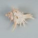 Mollusc shell: Spiny murex, Poirieria zelandica; Frances Shakespear; 2015.232.110