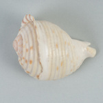 Mollusc shell: Cask shell, Tonna tankervillii; Frances Shakespear; 2015.232.111