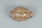 Mollusc shell: Arabian cowrie, Mauritia arabica; Frances Shakespear; 2015.232.103