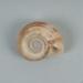 Mollusc shell: Giant rams horn snail, Marisa cornuarietis; Frances Shakespear; 2015.232.125